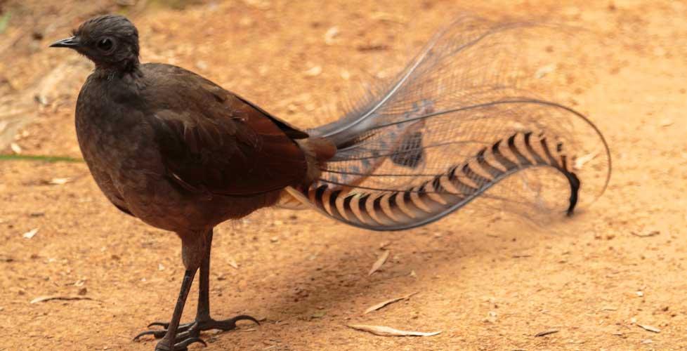 australischer Leierschwanz
