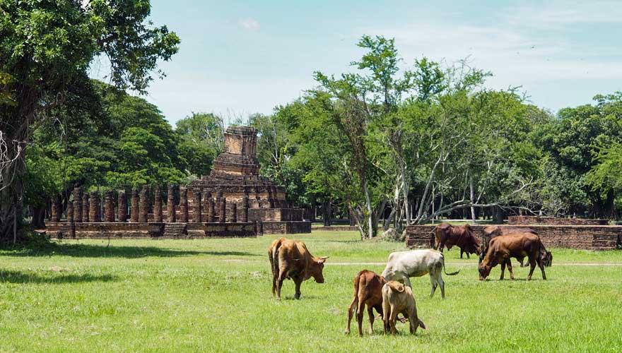 Kühe im Sukhothai Geschichtspark