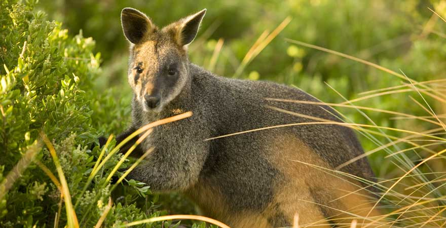 Wallaby in Victoria, Australien