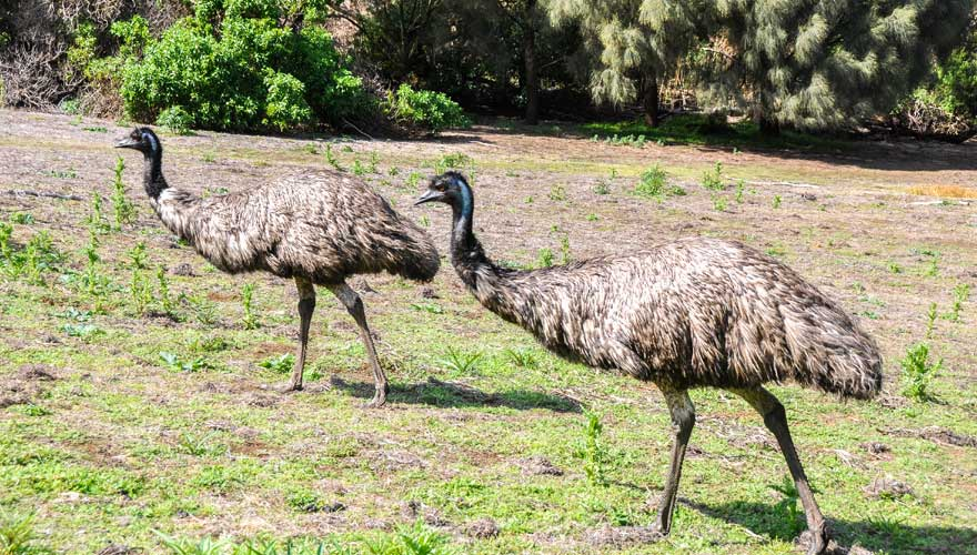 Emu im Tower Hill Nationalpark