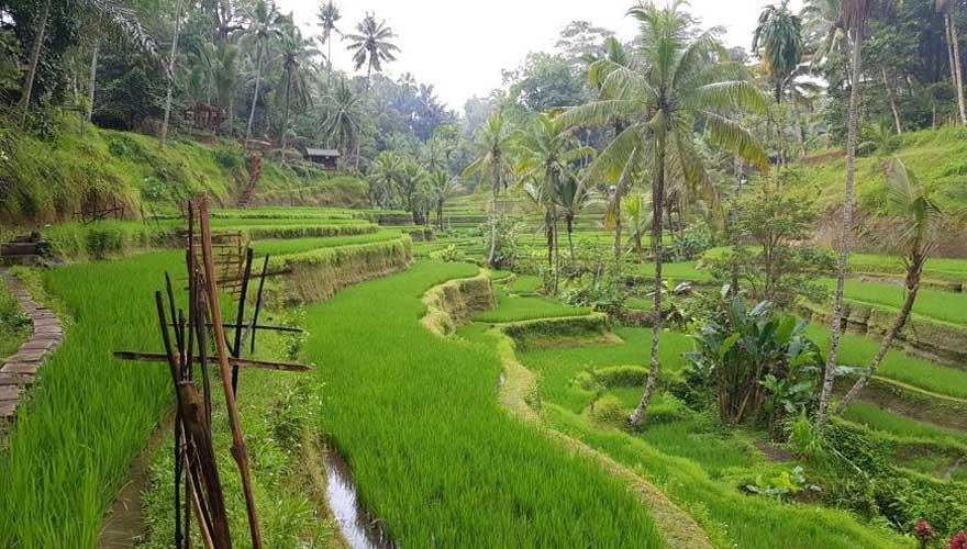 Reisfelder Bali