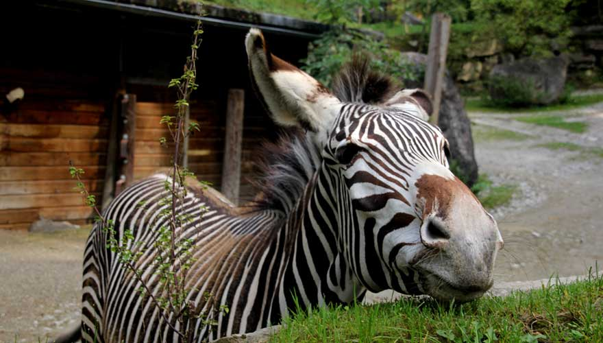 Zebra im Zoo Hellbrunn