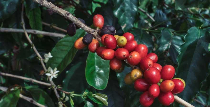 Kona kaffee auf hawaii