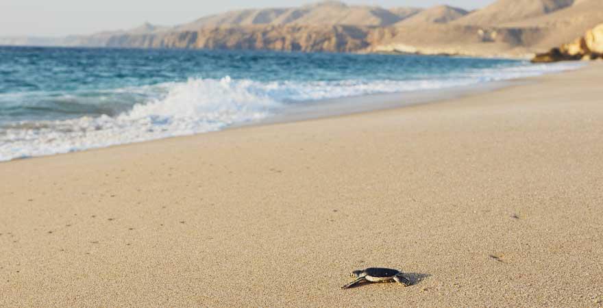 Ras al Jinz, Turtle-Beach im Oman