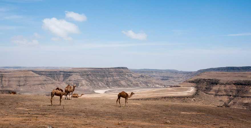 kamele in den bergen in salalah