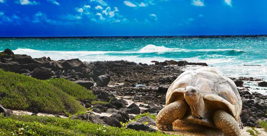 Riesenschildkroete auf Mauritius