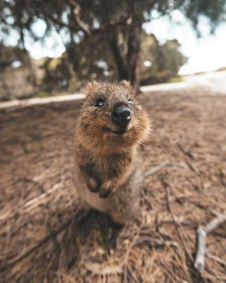 Quokkas in Western Australia