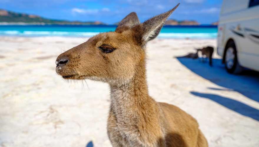 Kängurus am Strand in Western Australia