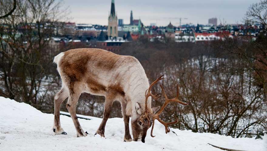 Rentier in der Nähe von Stockholm