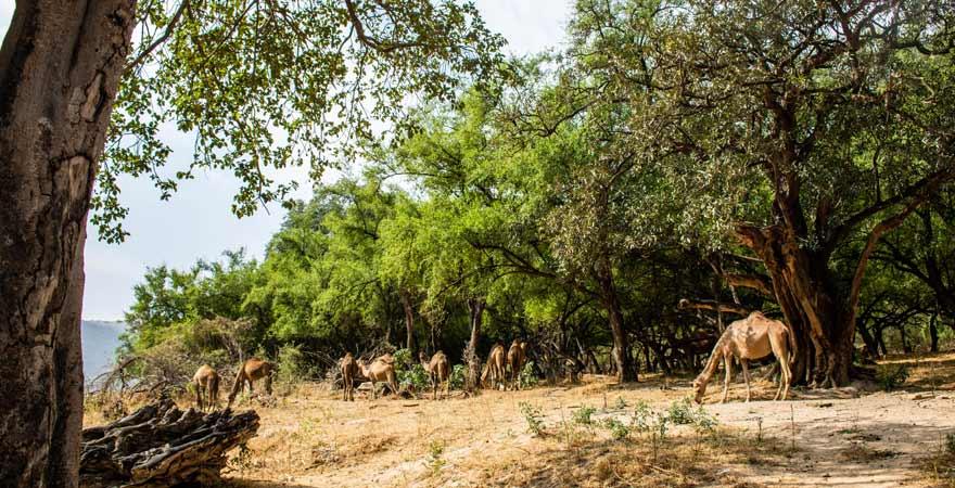 Kamele im Wadi Darbat