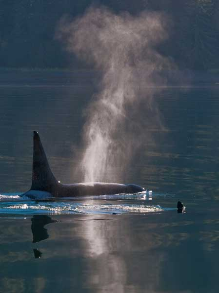 walbeobachtung in Alaska