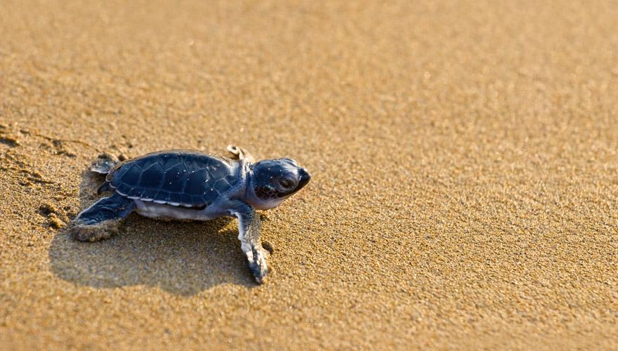 frisch geschlüpfte Karettschildkröte