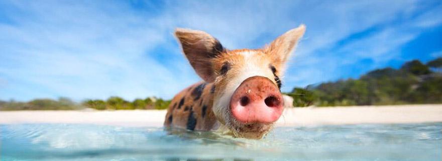 schwimmende Schwein auf den Bahamas