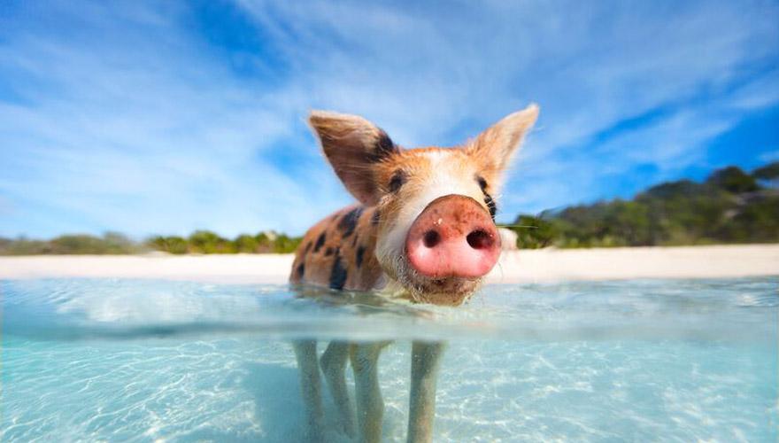 schwimmendes Schwein auf Exumas, bahamas