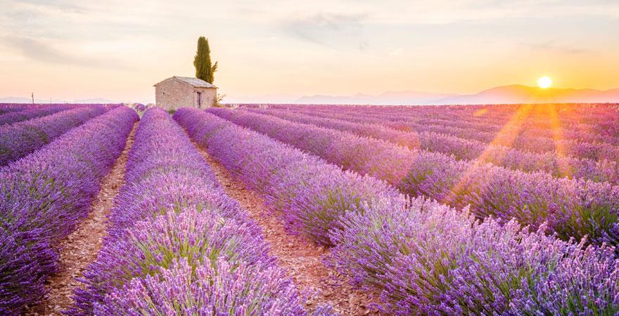 Lavendelfeld Frankreich