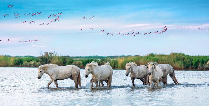 pferde und flamingos in camargues Frankreich
