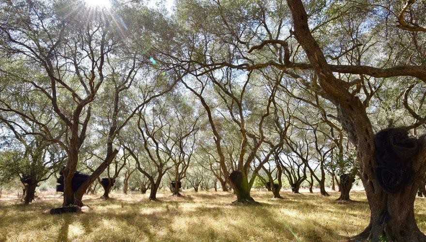 Olivenhaine auf Korfu