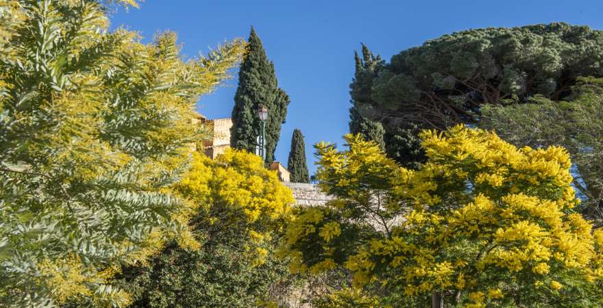 Mimosenblüte in Bormes-les-Mimosas an der Cote d'Azur, Frankreichs