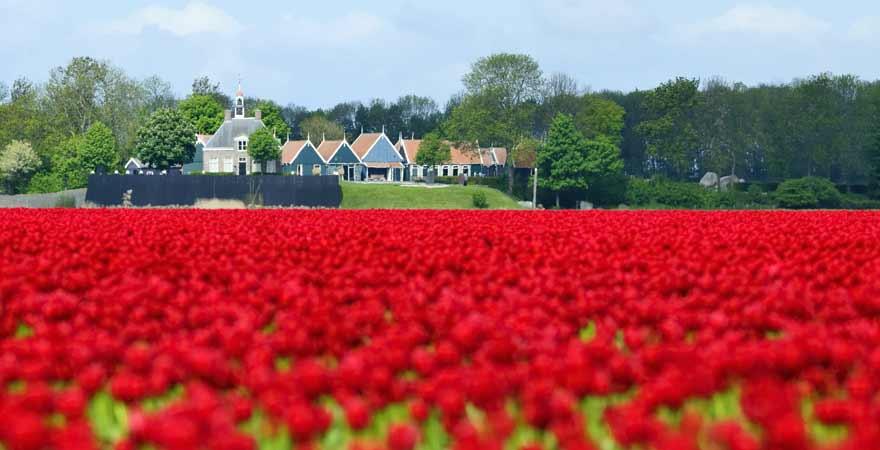 Tulpen in Schokland