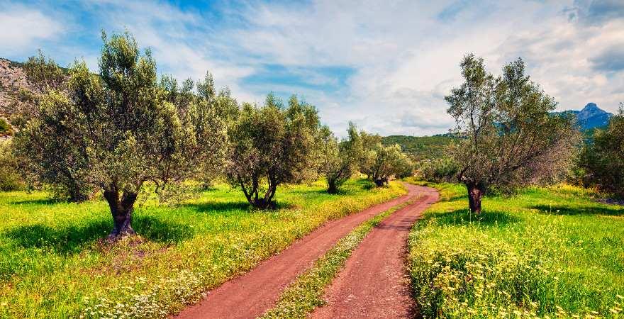 Ein Weg aus rotem Sand führt durch einen Olivenhain auf Zakynthos
