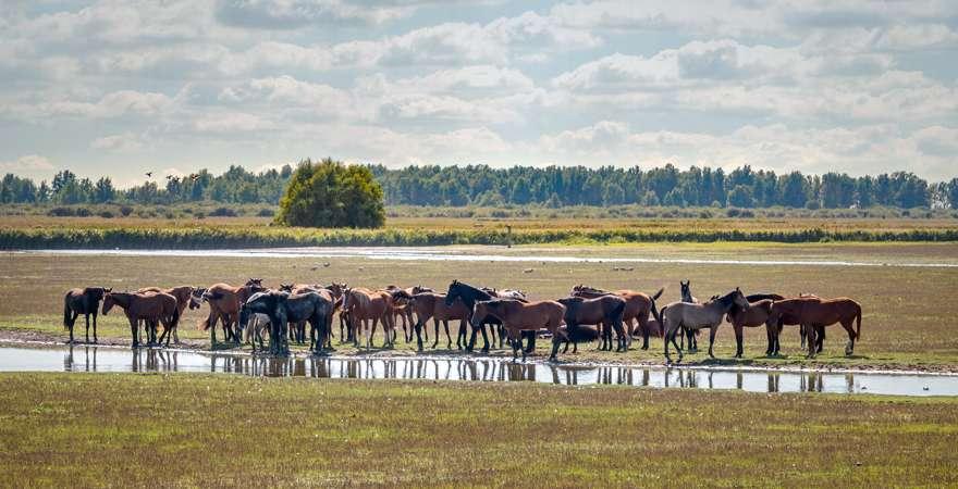 Eine Herde Konik Pferde im Nationalpark Leuwersmeer in Friesland