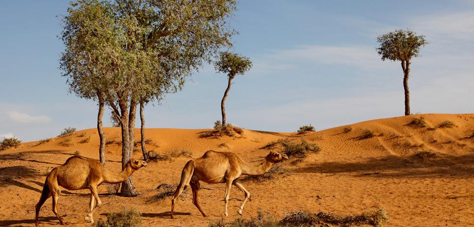 Eine Wüstentour mit Kamelen