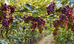 Bodensee Wein