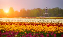 Holland Reisen Tulpenfelder