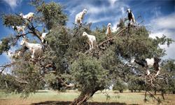 Marokko Arganbaum