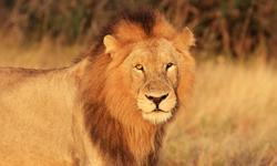 Pauschalreise Namibia Löwe
