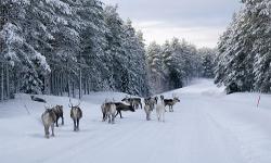 Rentiere Finnland Winterurlaub