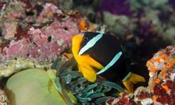 Tauchurlaub Oman Clownfisch