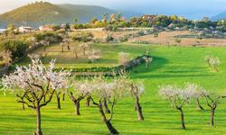 Wanderurlaub Mallorca Mandelbäume