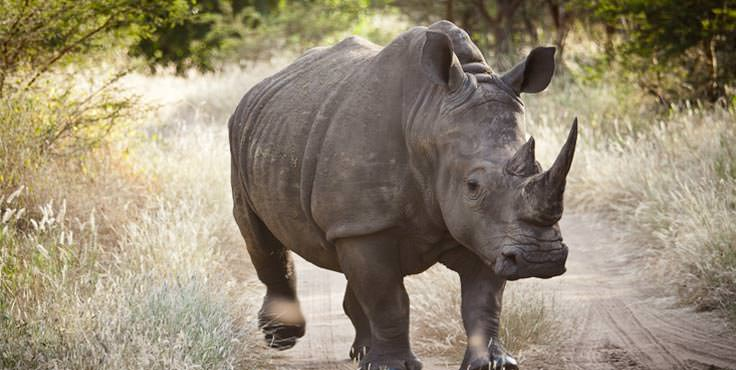 Senegal Rhinozeros
